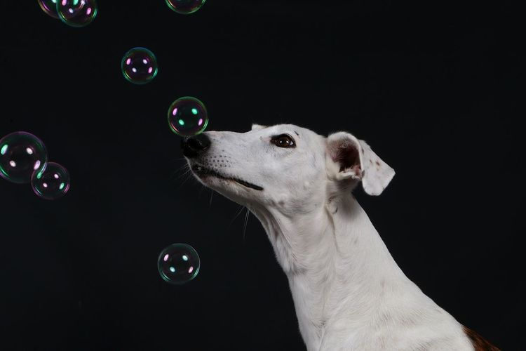 galgo is looking up to flying bubbles in the studio EyeEm Pets Galgo Galgo Español. Animal Themes Black Background Bubble Bubble Wand Close-up Dog Domestic Animals Fragility Galgo Espanol Galgoespañol Head And Shoulders Mammal Mid-air Nature No People One Animal Pets Portrait Of A Friend Studio Shot