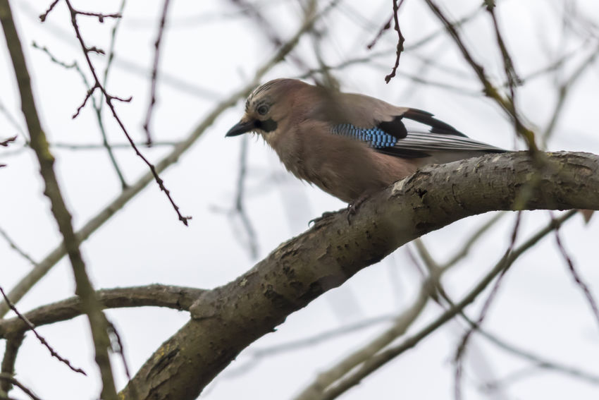 An eurasian jay on a branch Branches Eurasian Jay Garrulus Glandarius Nature Tree Abnimal Animalsworld Bird Birds Birds World Birdslife Blue Brown Feather Of A Bird Feathers Of Birds Jays, Landscape Outdoors Plumage Wildlife