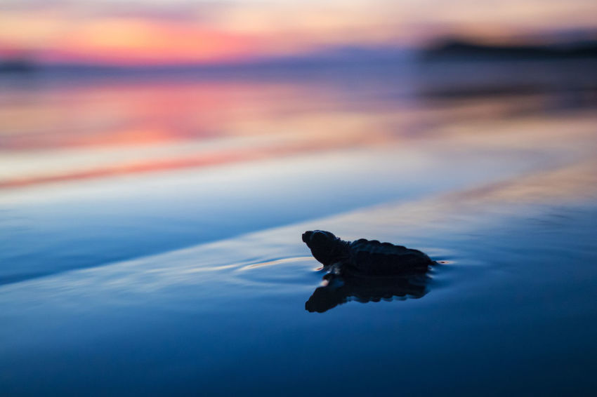 release of the turtles Turtle Release Beach Pacific Ocean Colour Your Horizn An Eye For Travel Colours Night EyeEmNewHere Water Nature Animal Themes One Animal No People Beauty In Nature Sunset Outdoors Sea Reflection Animals In The Wild Swimming