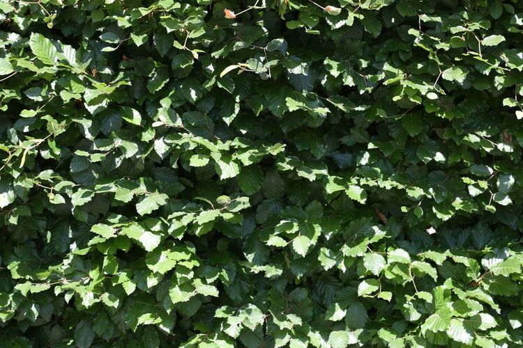 beech hedge in summer Beech Hedge Backgrounds Beauty In Nature Close-up Creeper Plant Day Freshness Full Frame Green Color Growth High Angle View Ivy Land Leaf Nature No People Outdoors Plant Plant Part Summer Sunlight Tranquility