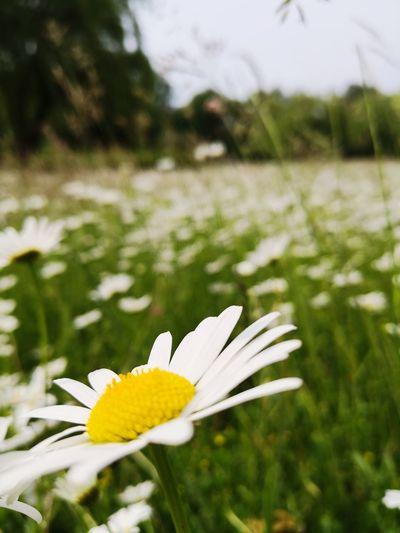 Flower Head Flower Close-up Grass Plant