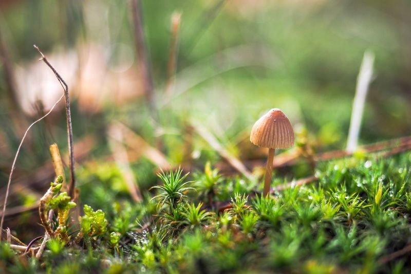 Little mushroom in the moss Autumn Plant Fungus Growth Mushroom Land Field Nature Selective Focus Vegetable Grass Close-up Toadstool Food No People Day Green Color Beauty In Nature Moss Fragility Vulnerability