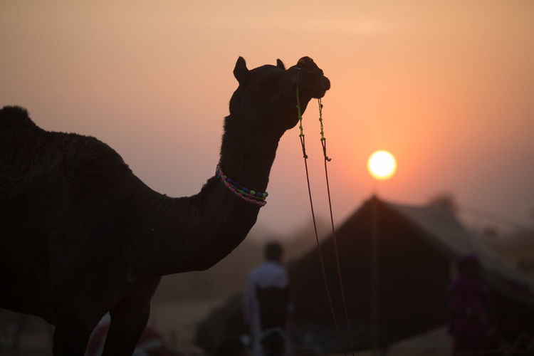 Camel against sky during sunset