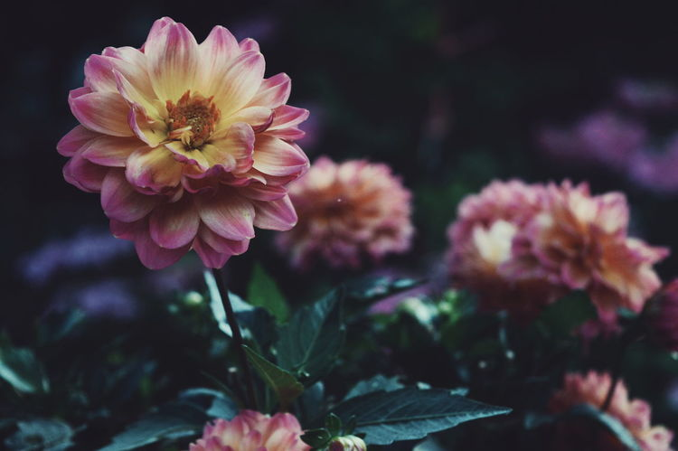 Flower Pink Color Plant Petal Nature Beauty In Nature Close-up Fragility Outdoors Fresh On Eyeem  Summervibes Flowerpower Beauty Details Vintage Peaceful The Week On EyeEm