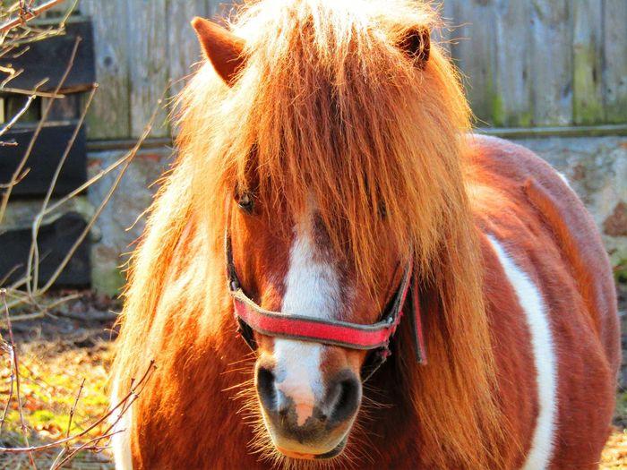 Pony Pony Animal Animal Head  Animal Themes Close-up Day Domestic Domestic Animals Herbivorous Horse Mammal No People One Animal Outdoors Pets