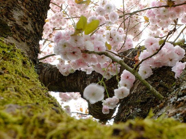 Bark Branches Cherry Blossoms Sakura Twigs Beauty In Nature Freshness Garden Outdoors Prunus Serrulata Shirofugen Trunk
