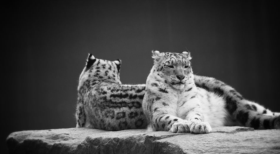 Why are you sulking? Animal Animal Themes Animal Wildlife Big Cat Carnivora Cat Feline Focus On Foreground Instagram Lying Down Mammal No People One Animal Panther Relaxation Snapchat Vertebrate