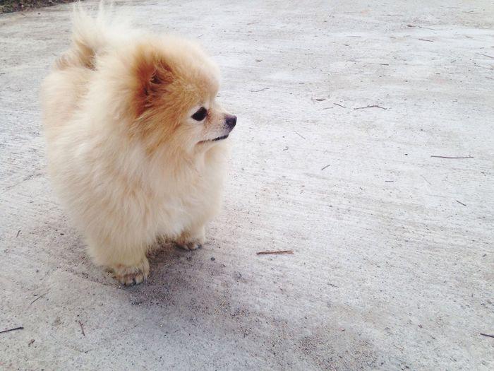 🦁👀 Animal Themes One Animal High Angle View Mammal Domestic Animals Pomeranian No People Pets Full Length Day Outdoors Dog Dog❤ Dogslife Monmon