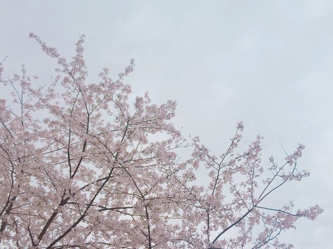 Urban Spring Fever Cherry Blossoms Cloudy くもり サクラ OSAKA 흐린날☁️벚꽃🌸