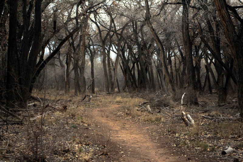 Dirt path into dark, spooky forest. Rio Grande Valley State Park, Albuquerque, New Mexico. Dark Cottonwood Forest Grove Haunted Landscape Nature No People Outdoors Scenics Spooky Tree WoodLand