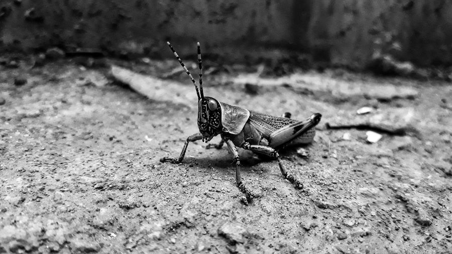 The-Hopper Blackandwhite Spread Wings Butterfly - Insect Insect Butterfly Animal Themes Close-up Antenna Grasshopper Winged Wildlife Animal Antenna Flight