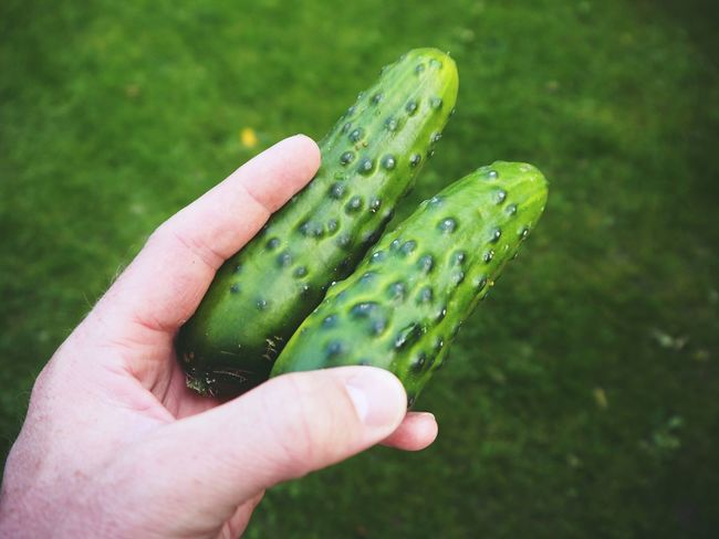 Cucumber Close-up Cucumber Plant Day Focus On Foreground Food Food And Drink Freshness Green Color Healthy Eating Holding Human Body Part Human Finger Human Hand Nature One Person Outdoors People Real People Vegetable