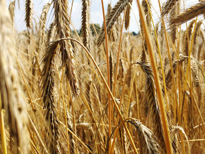 Close-up of cereal crops