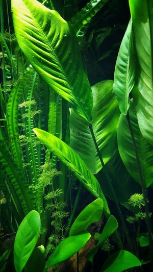 AntiM Green Green Green!  Green And Black Green Color Under Water Agriculture Banana Leaf Banana Tree Beatyful Nature Beauty In Nature Beauty Under The Sea Close-up Day Fern Fragility Freshness Green Color Green Plants Growth Leaf Nature No People Outdoors Plant Plants Under Water