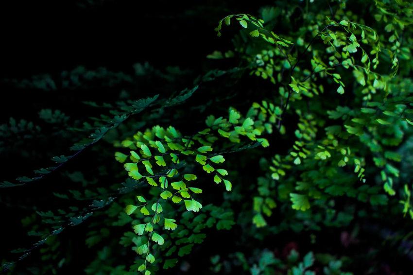 maidenhair ferns Fern Leaves Maidenhair Plant Plant Life Fern Fern In Thailand Fern Leaf Ferns Green Color Growth Leaf Leafs Photography Maidenhair Fern Maidenhair Tree Maidenhairfern Photographer Photography Plant