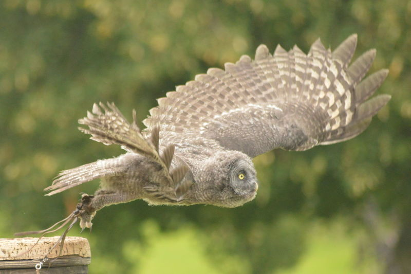 Animal Wildlife One Animal Focus On Foreground Close-up Bird Outdoors Flying Spread Wings Beauty In Nature No Filter, No Edit, Just Photography Bird Of Prey Nature Owl Great Grey Owl Falconry Wings ICBP International Centre For Birds Of Prey