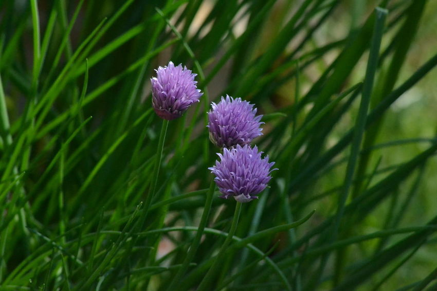 Beauty In Nature Chives Close-up Flower Flower Head Flowers Freshness Garden Green Color Nature Outdoors Purple Spring Spring Flowers
