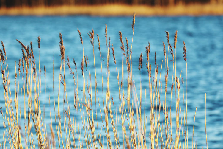 Close-up of stalks against calm lake
