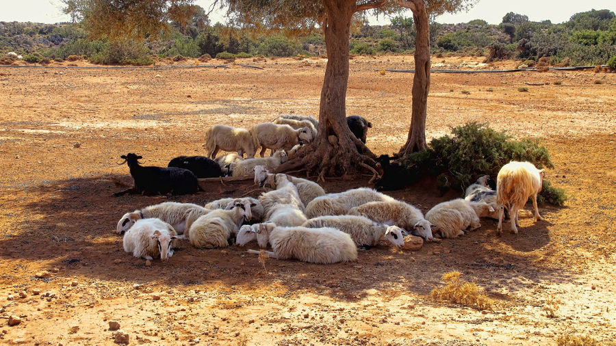 Sheep Sitting On Field