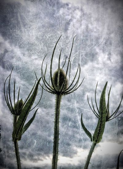 Teasles against sky Beauty Beauty In Nature Cloud - Sky Cloudy Garden Low Angle View Nature No People Outdoors Plant Sky Teasle Teasles Tranquility Twig
