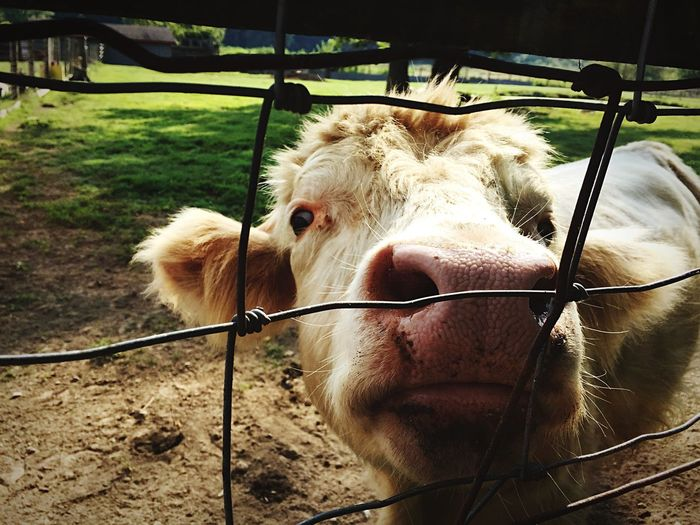 Petting Zoo Zoo Zoo Animals  Cows Cow Kentucky  Louisville Prospect Henry's Ark Animals