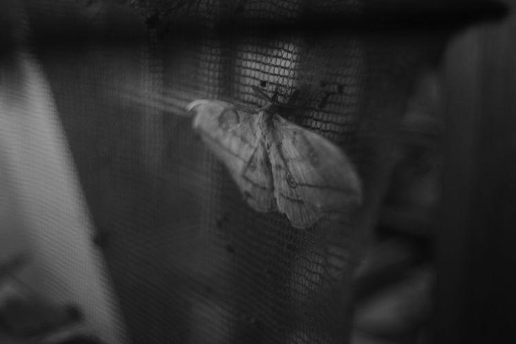 繭終 Black And White My Photography Black&white Japan Eyeem Black And White EyeEm Best Shots - Black + White Fujifilm X-Pro1 Leica Lens Eyem Best Shots - Black + White My Favorite Photo Black & White Black And White Collection  Canon 35mm F1.8 L Bw Photography Black And White Photography Insects  Insect Insect Photography Moths Moth Silk Silk Worms Silkworm Silkworms Silk Worm