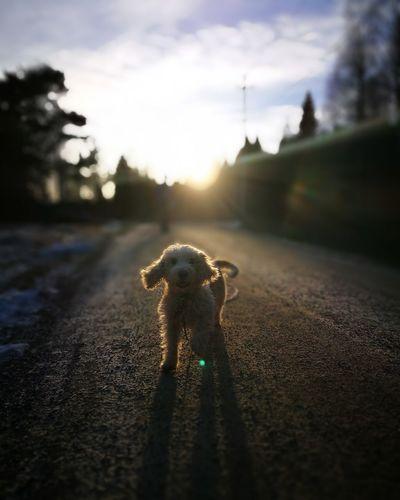 Dog Nature Dog Walking Dogoftheday Dog Love Nature Photography Sunset Sun Vinter HuaweiP9 Huawei Huaweiphotography Leicacamera Huawei P9 Leica Animal Themes Outdoors Sky One Animal Nature Day No People First Eyeem Photo