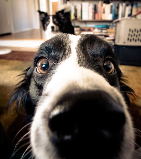 A border collie sticks its nose into the camera. Animal Themes Border Collie Close-up Day Dog Domestic Animals Home Interior Indoors  Indoors  Inside Looking At Camera Mammal No People Nose One Animal Pets Portrait