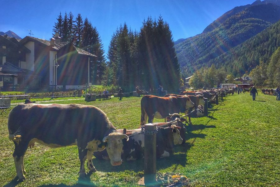 Sunlight Animal Themes Livestock Outdoors Lost In The Landscape Cow