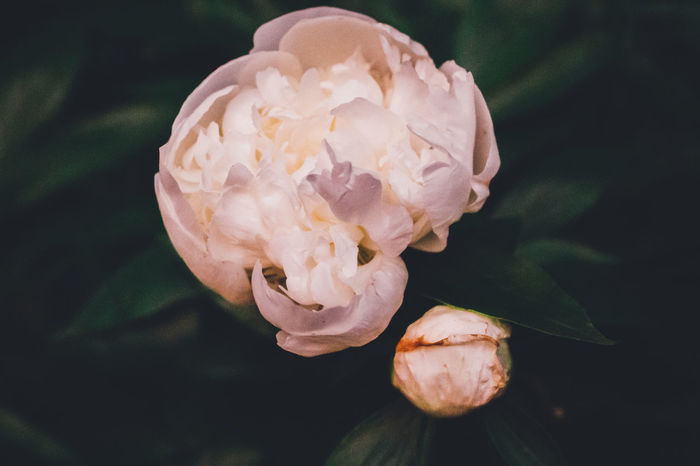 Beauty In Nature Blooming Close-up Day Evening Flower Flower Head Focus On Foreground Fragility Freshness Growth Nature No People Outdoors Peony  Petal Plant