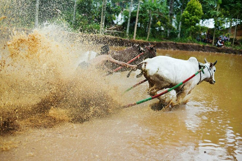 Domestic Animals Animal Themes Water Mammal Tree Livestock One Animal Day No People Outdoors Nature Pets Pacujawi Pacu Jawi Sumatra