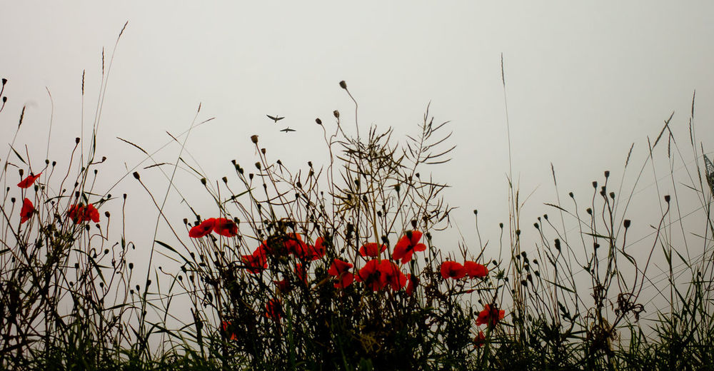 Close-up of red poppies on field against sky