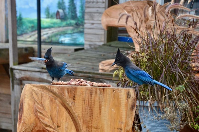 Oh my!!! These are so good!! Mission Stellar Jays 2 Stellar Jays Birds Eating Birds Eating Hazelnuts Hazelnuts Blue And Black Birds Bird Vertebrate Animal Themes Day Perching Two Animals Wood - Material No People Focus On Foreground Nature Blue Plant Outdoors Animal Wildlife 2 Birds