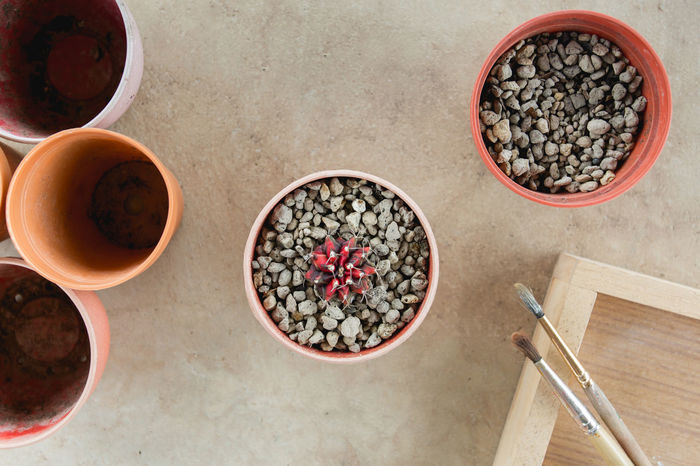 Plant a Cactus my Garden Beautiful Cactus Cactus Flower Desert Farm Farmer Growth Natural Nature Plant Seed Tree Colorful Farming Flora Flower Fresh Garden Gymnocalycium Mihanovichii Houseplant Macro Pot Pot Plant Succulent Succulent Plant