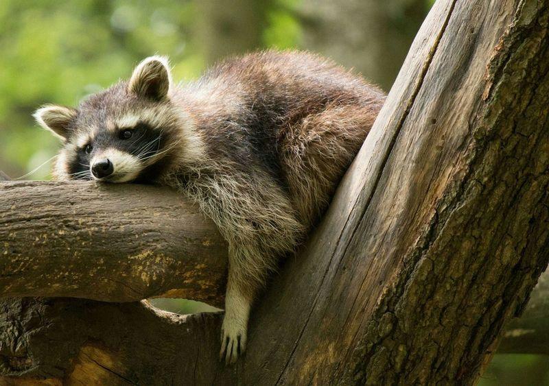 Waschbär Chillen Abhängen Relaxen Hanging Out Entspannen Wochenende