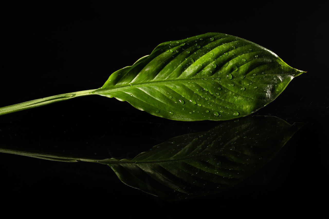 CLOSE-UP OF RAINDROPS ON LEAVES AGAINST BLACK BACKGROUND