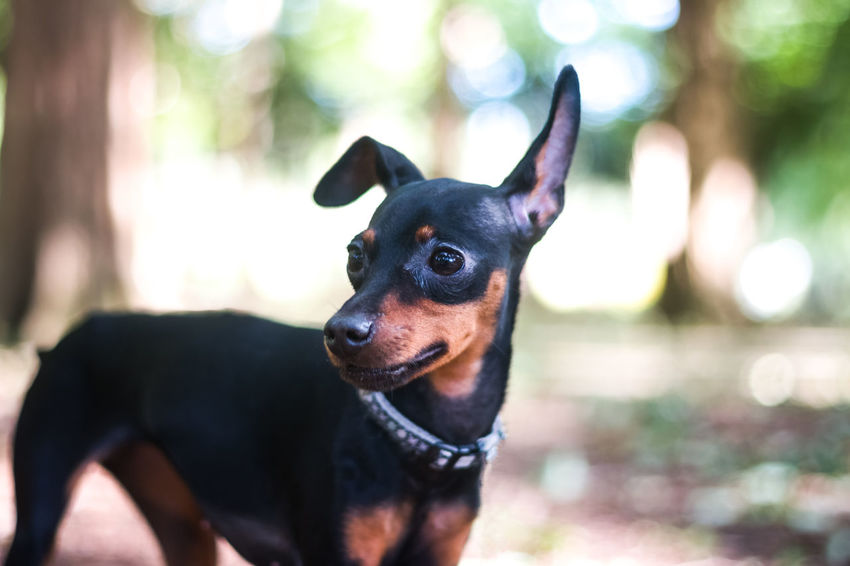 Lighter & Brighter Always Be Cozy Pet Portraits Cute Pets Face Of EyeEm Fresh On Eyeem  Freshness Looking To The Other Side Natural Light Portrait Relaxing The Week On EyeEm Animal Themes Bokeh Close-up Day Dog Domestic Animals Focus On Foreground Miniature Pinscher One Animal Outdoors Pet Collar Pets Walking The Dog Summer Dogs