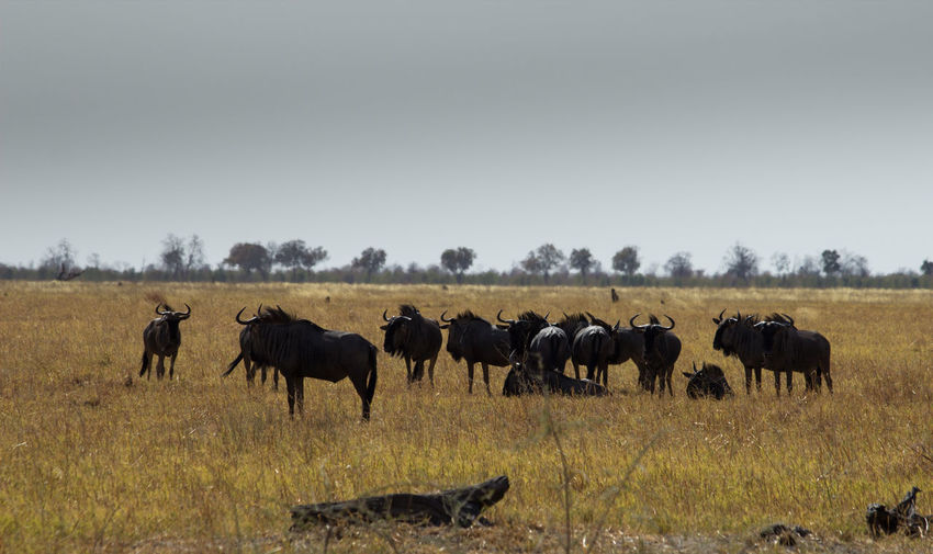 Wildebeest Standing On Grassy Field Against Clear Sky