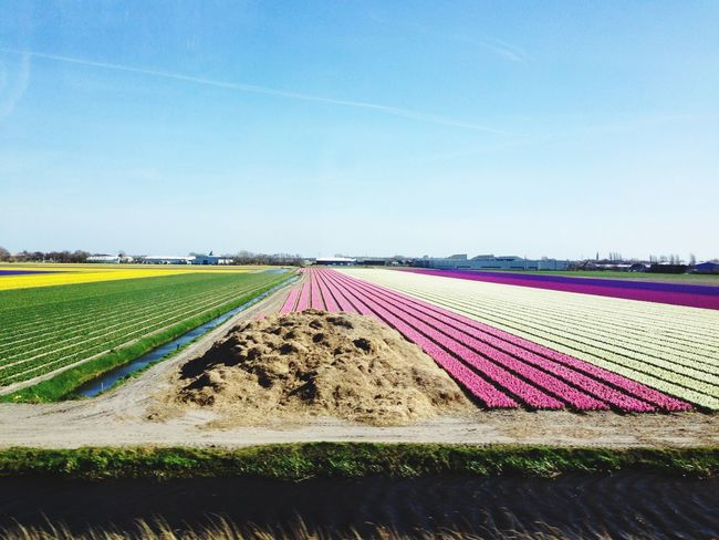 поле Тюльпаны голландия Holland Tulips Flowers Reinbow Colors Woundeful Beautiful