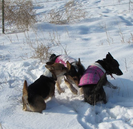 Cold Cold Day Cold Days Cold Outside Cold Temperature Cold Weather Cold Winter ❄⛄ Coldweather Corgi Cute Cute Dog  Cute Pets Cute♡ Dog Dogs Dogslife Outdoors Snow Snow ❄ Welsh Corgi