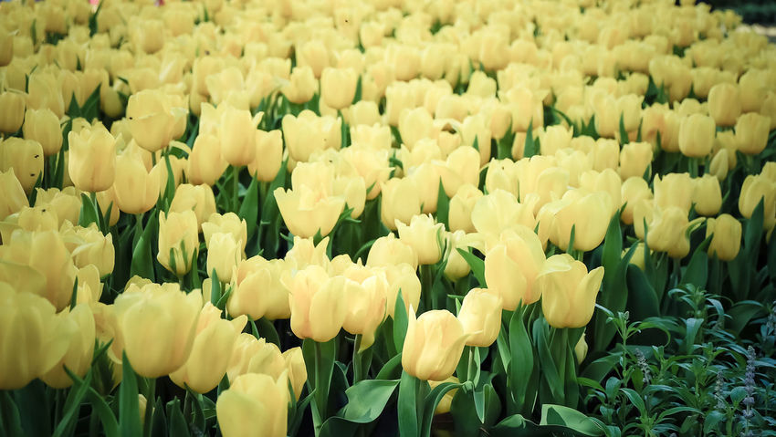 Abundance Backgrounds Beauty In Nature Blooming Bouquet Close-up Day Flower Flower Head Flower Market Flower Shop Fragility Freshness Full Frame Growth Hyacinth Nature No People Outdoors Petal Plant Retail  Springtime Tulip Yellow
