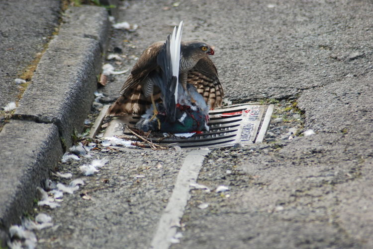 High angle view of sparrow hawk hunting pigeon