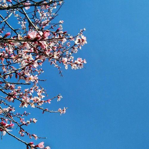 Spring BloomingBuds Kashmir Iust