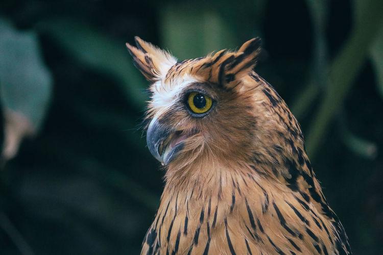 Buffy fish owl or ketupa ketupu also called the malay fish owl
