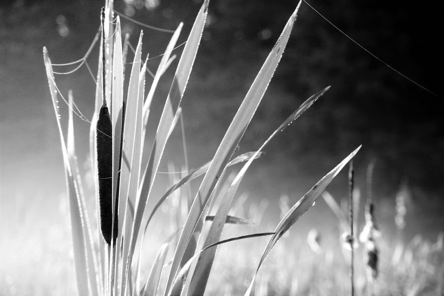 Cat tail Growth Nature Plant Focus On Foreground Crop  Close-up Field Agriculture Cereal Plant Rural Scene Stalk Day Tranquility No People Beauty In Nature Outdoors Ear Of Wheat Wheat Sky Timothy Grass
