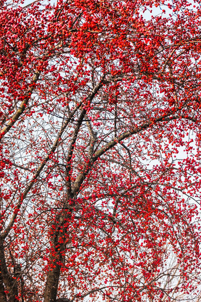 Autumn Colors Beauty In Nature Branch Crab Apple Crab Apple Tree Day EyeEm Nature Lover Fall Beauty Full Frame Growth Low Angle View Majestic Nature Ontario, Canada Outdoors Red Red Color Scenics Showcase September The Week On EyeEm Tranquil Scene Tranquility Tree Trees Vibrant Color