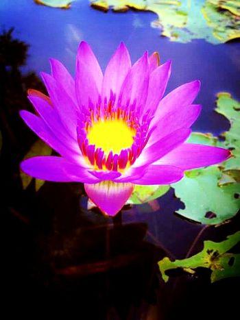 Lotus loves. 🌸 Flowers Pink Flower Naturelovers Flowerporn Flower Collection Nature_collection Eyeem Nice Shots