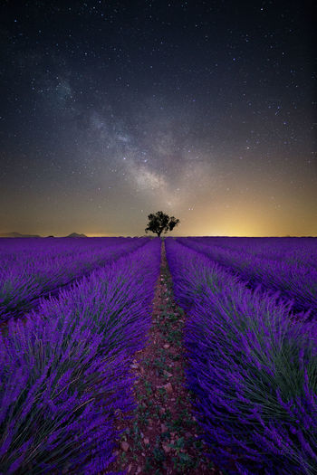 Purple Flowering Plants On Field Against Sky At Night