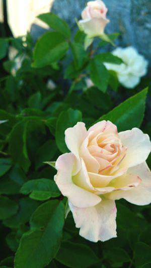 Mary, Mary. Quite contrary. Oh where does your garden grow? Beautiful Nature Rose🌹 Flowers Peach Rose