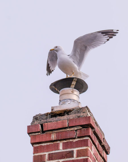 Animal Themes Animal Wildlife Animals In The Wild Bird Day Looking Up Nature No People One Animal Outdoors Perching Perching Bird Ring-billed Seagull Rooftop Seagull Seagulls Seagulls In Flight The Week On EyeEm Wildlife Wildlife Photography Perspectives On Nature